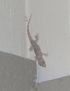 Small lizard above my front door